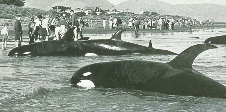 Beached Type D orcas. New Zealand, 1955. Picture: Orca Research Trust Archives / Te Papa Museum, Wellington