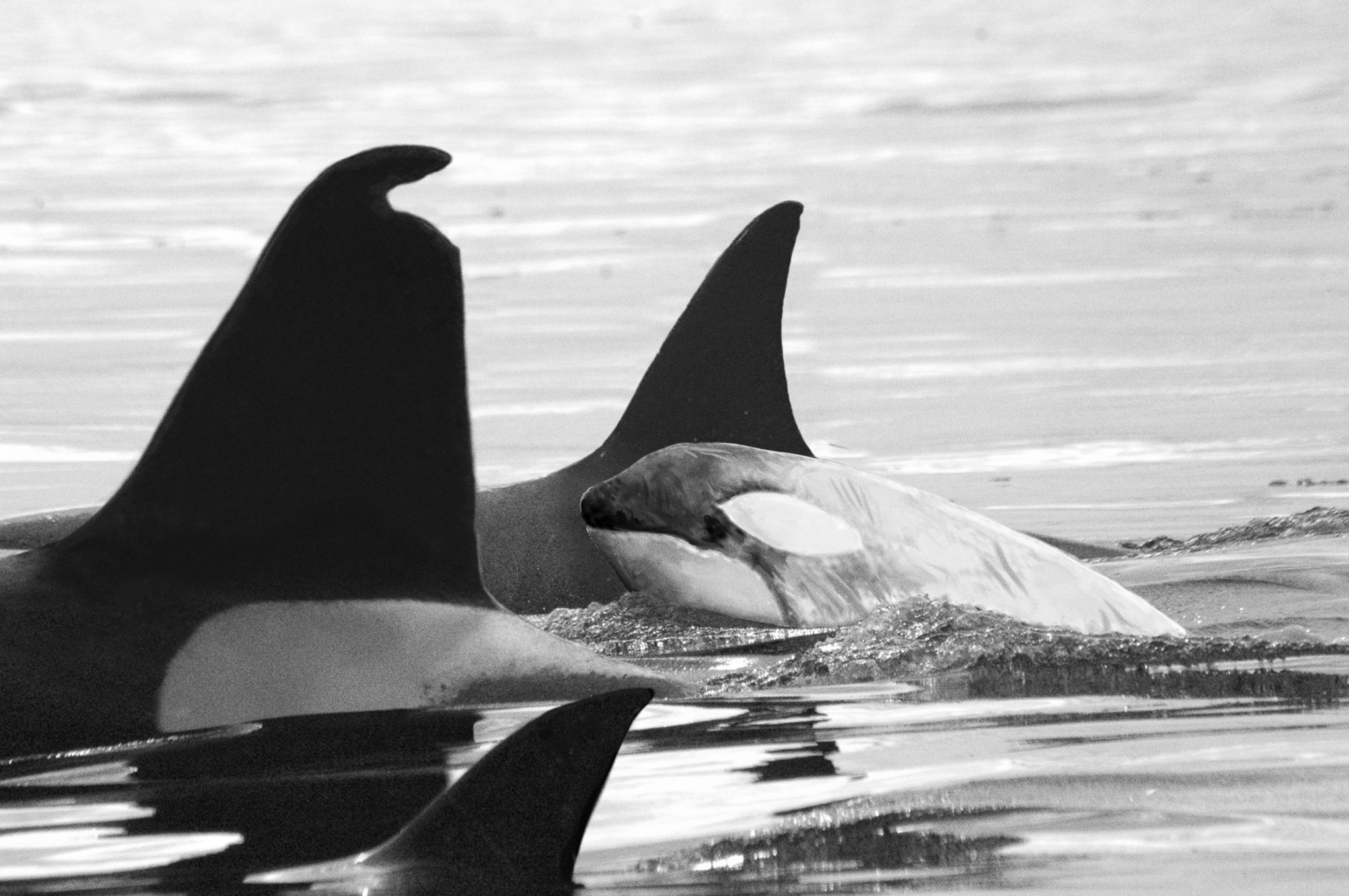 White Killer Whale SpottedOnly One in the World