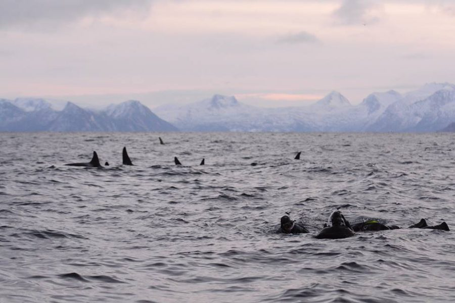 Snorkelers in the water with orcas. (Photo: © Annemieke Podt)